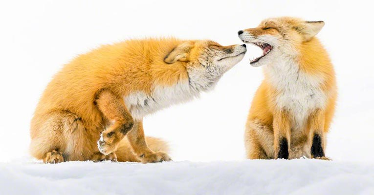 hokkaido red fox