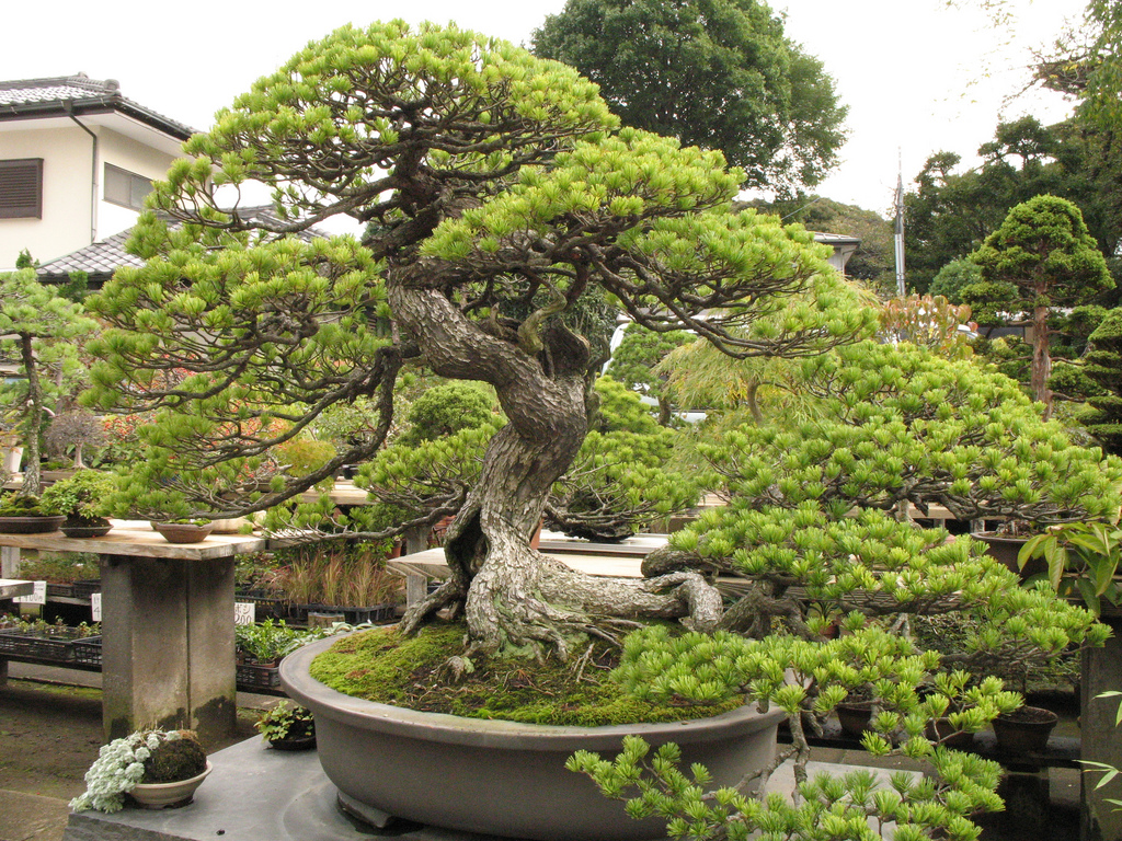 Japão bonsai