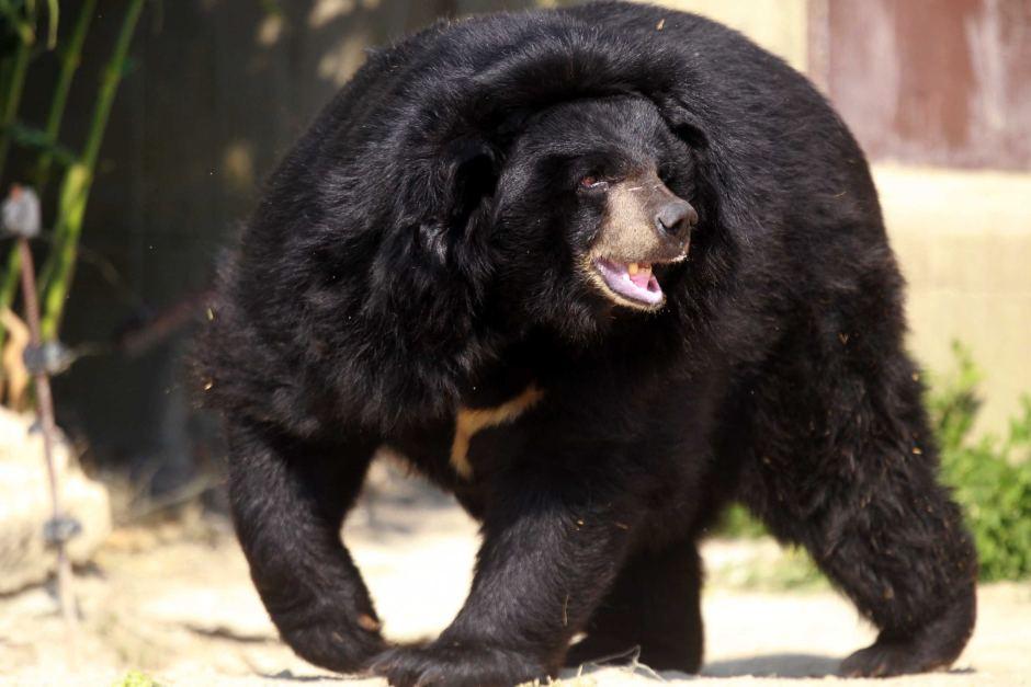 urso preto no Japão