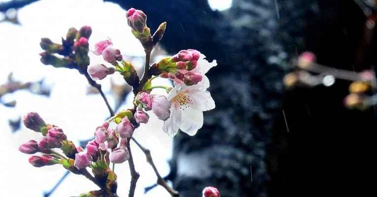 Florescimento Sakura