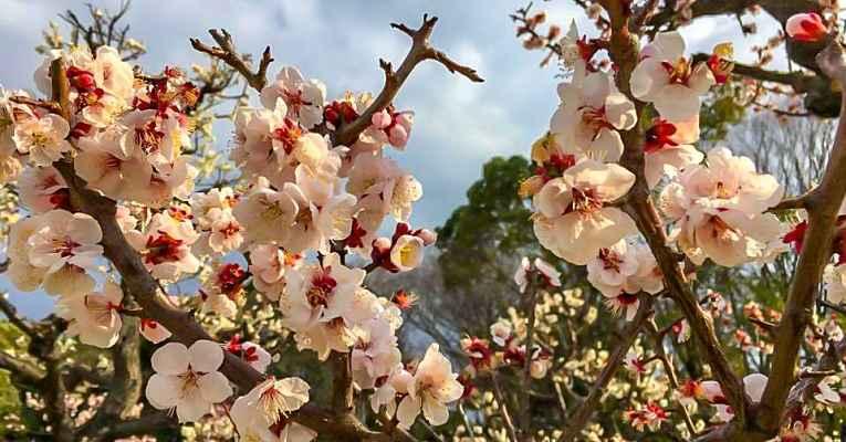 Florescer Sakuras