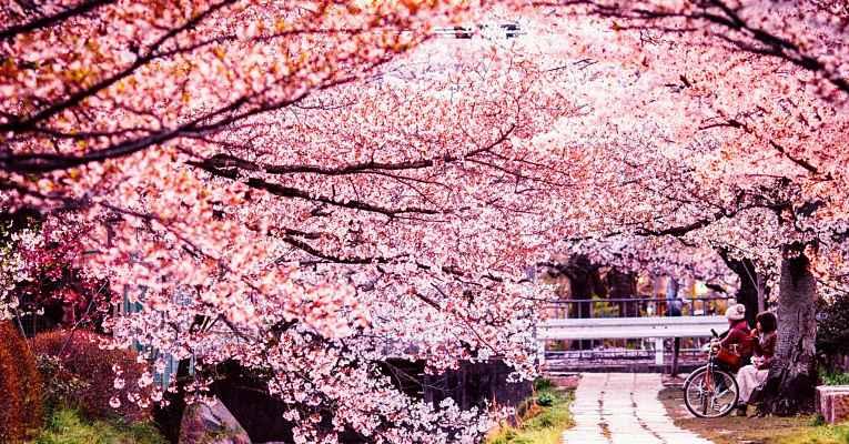 Temporada de sakura no Japão