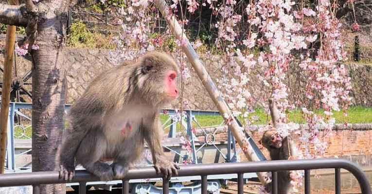 Ataques de macaco em Kyoto