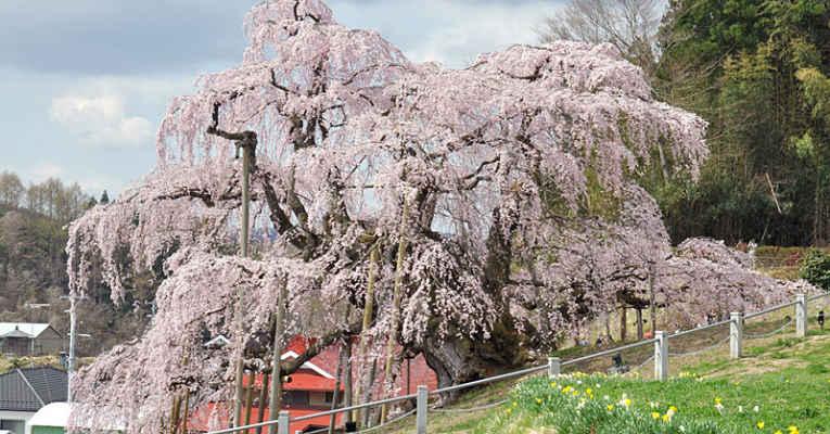 Nihon Godai Sakura