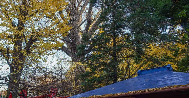 árvore gingko