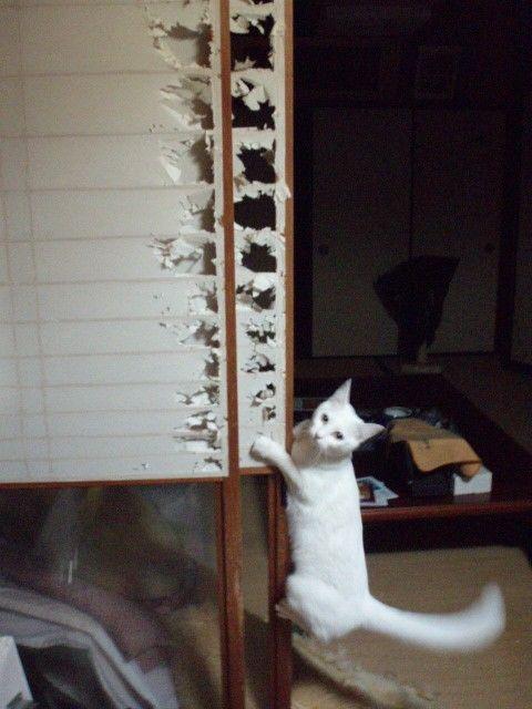 Gato branco arranhando porta shoji