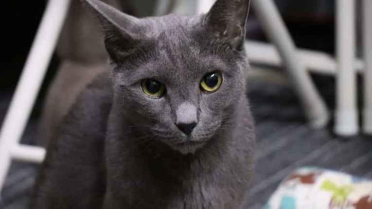 Gato Azul Russo - Gato mais popular do Japão