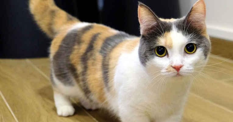 Gatos populares do Japão