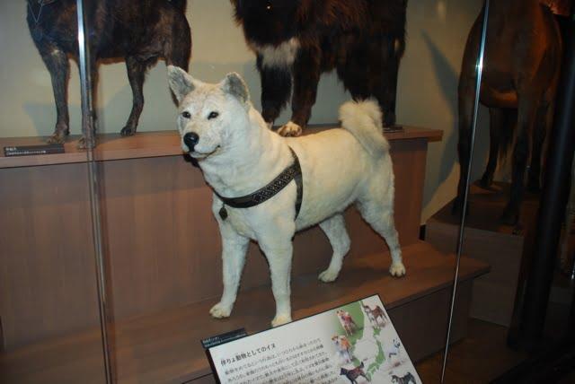 Corpo empalhado do cachorro