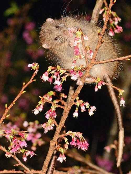 Ratos de Kyushu
